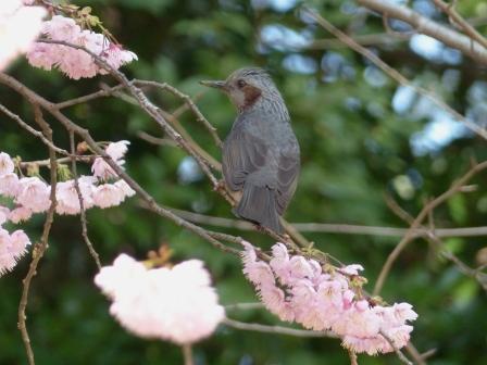 堀之内公園 椿寒桜 & ヒヨドリ 1