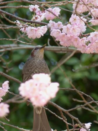 堀之内公園 椿寒桜 & ヒヨドリ 2