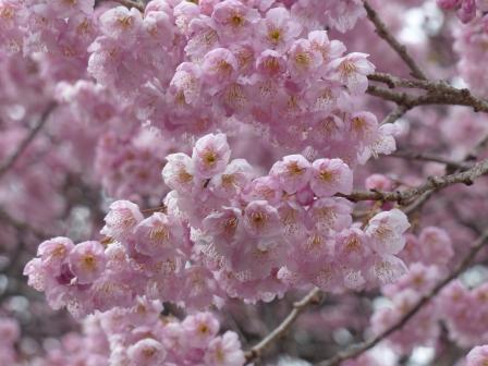椿寒桜 3