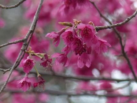 寒緋桜 2