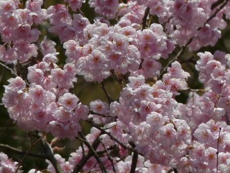 愛媛万葉苑 桜の仲間 4