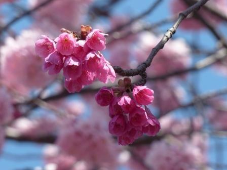 椿寒桜 & 寒緋桜 2