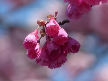 椿寒桜 & 寒緋桜 3