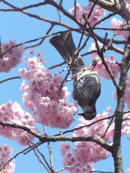 椿寒桜 & ヒヨドリ