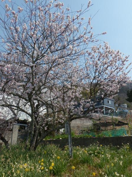 十六日桜 8
