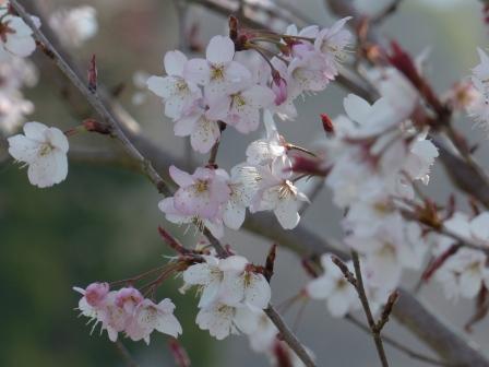 十六日桜 7