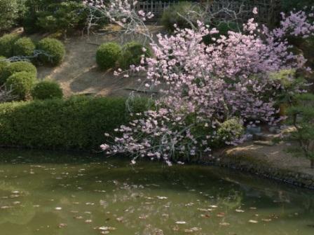 道後公園 桜の仲間 1