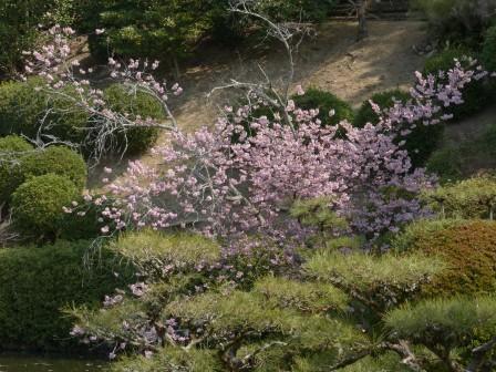 道後公園 桜の仲間 2