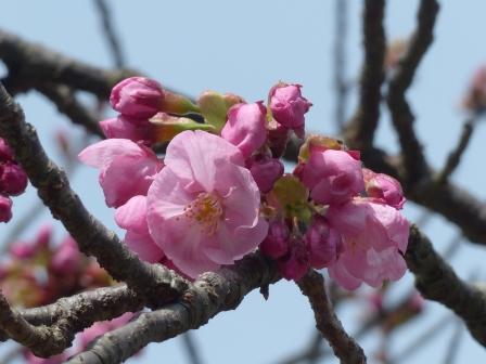 陽光 (桜) 2