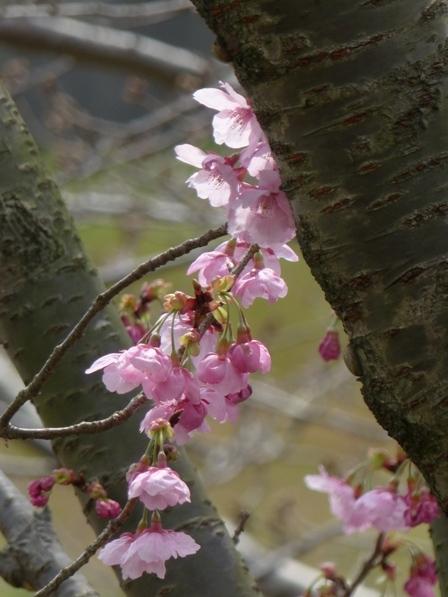 陽光 (桜) 5