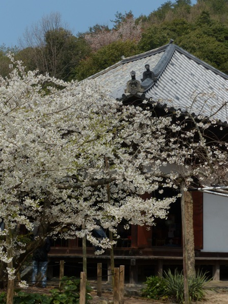 大宝寺 うば桜 2