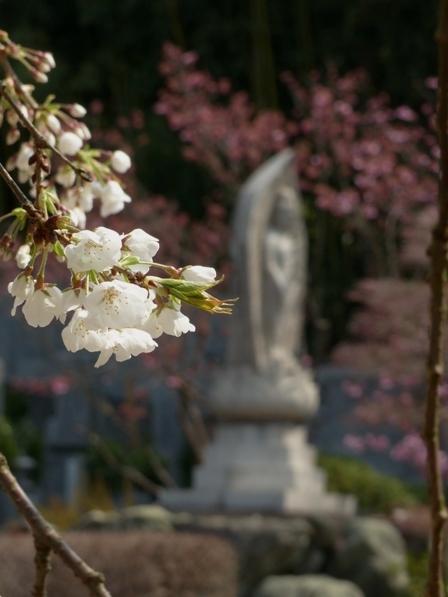 大宝寺 うば桜 12