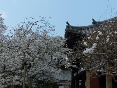 大宝寺 うば桜 11