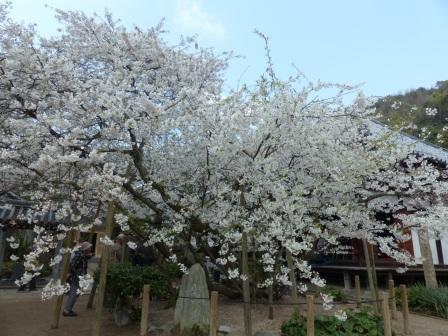 大宝寺 うば桜 3