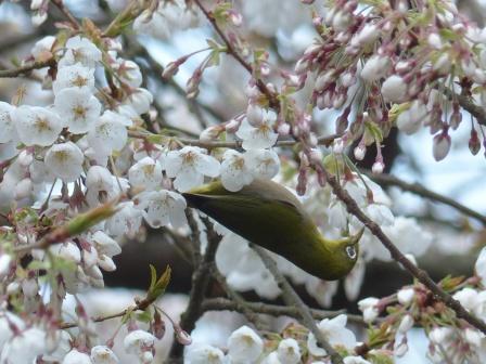 メジロ & 桜 2