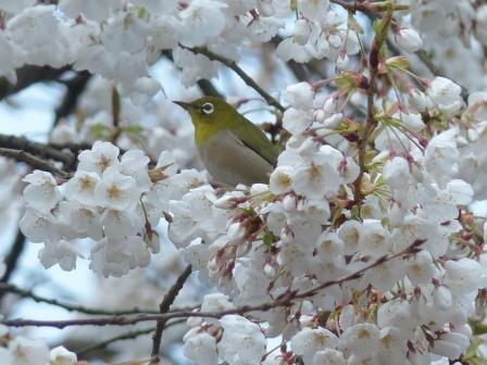 メジロ & 桜 1
