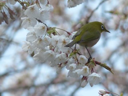 メジロ & 桜 3