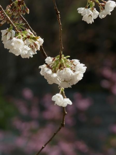 大宝寺 うば桜 13