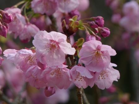 陽光 (桜)
