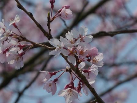 早咲きの桜 2