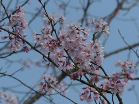 早咲きの桜 1