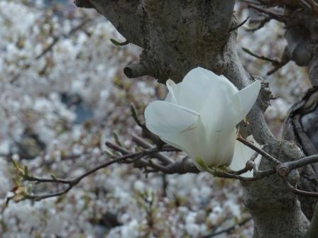 白木蓮 & うば桜 1