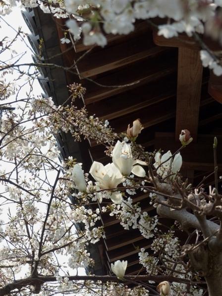 白木蓮 & うば桜 2