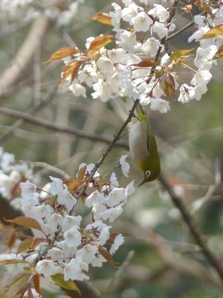 山桜 & メジロ 1