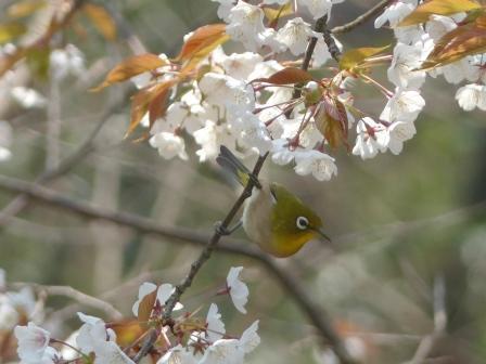 山桜 & メジロ 2