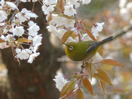山桜 & メジロ 3