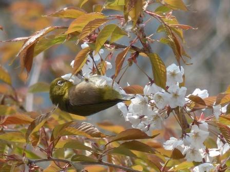 山桜 & メジロ 4