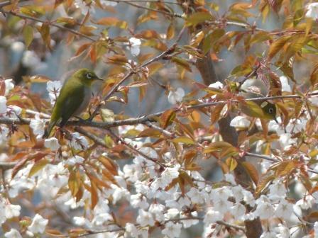 山桜 & メジロ 5