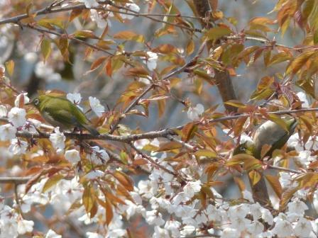 山桜 & メジロ 6