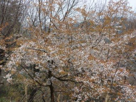松山総合公園 山桜 1