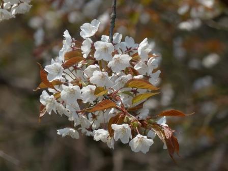 松山総合公園 山桜 2