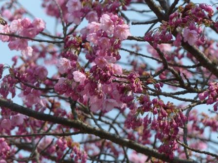 松山総合公園 陽光 (桜) 2
