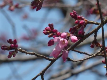 松山総合公園 しだれ桜