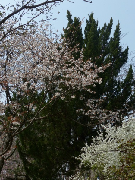 石手川沿い 山桜 & ユキヤナギ