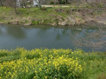 石手川沿い 菜の花