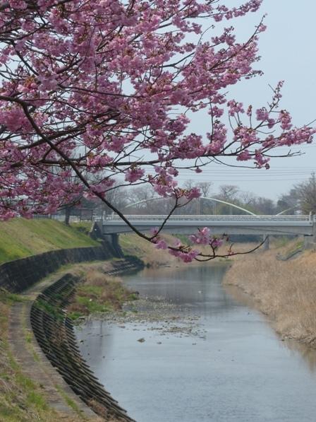 石手川沿い 陽光 (桜) 4