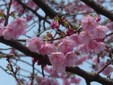 石手川沿い 陽光 (桜) 1