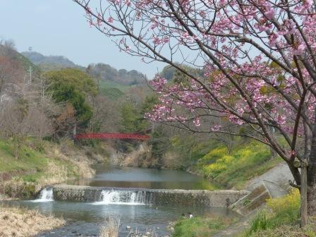 石手川沿い 陽光 (桜) 2