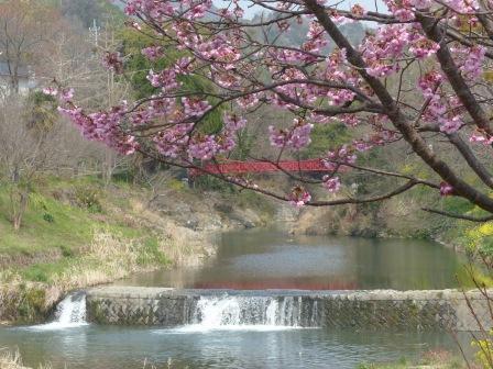 石手川沿い 陽光 (桜) 3