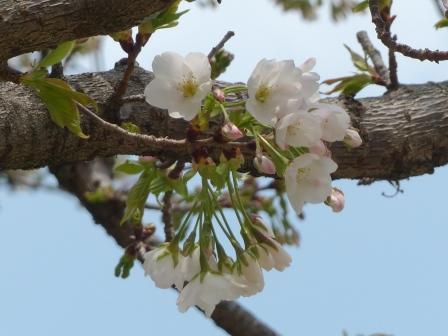 石手川沿い 大島桜 1