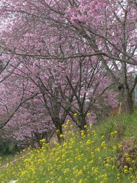 石手川沿い 陽光 (桜) 5