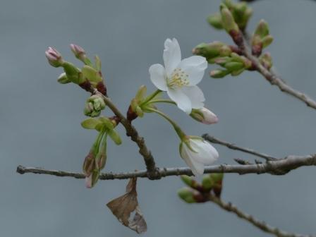石手川沿い 大島桜 2