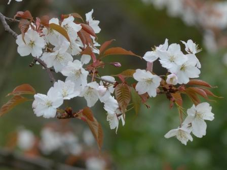石手川沿い 山桜