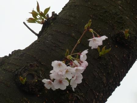 つくばの桜 2