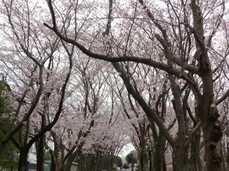 つくばの桜 1