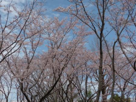 つくばの桜 3